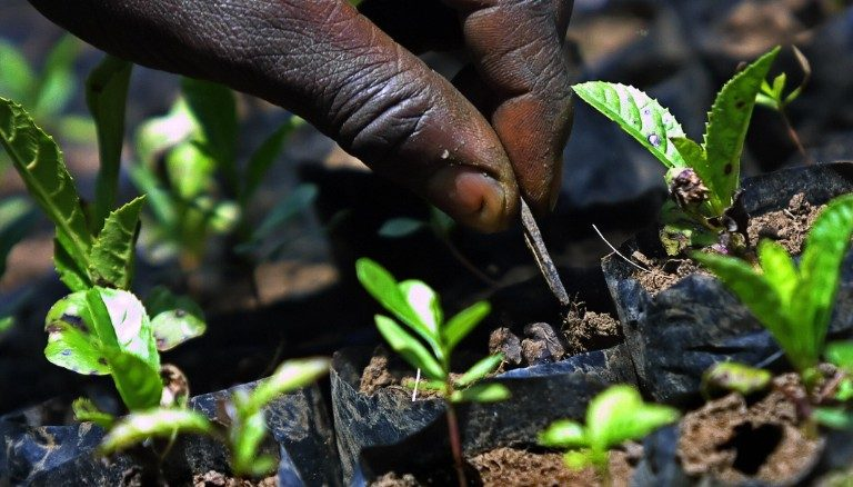 Image of a hand planting tree sprouts in the Sahara as part of the Great Green Wall forestation project.